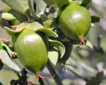 Fruit Jojoba
